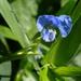 Hierba del Pollo - Photo (c) aster_lin, algunos derechos reservados (CC BY-NC)