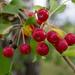 Manzano Silvestre de Siberia - Photo (c) Александр Скачко, algunos derechos reservados (CC BY-NC)
