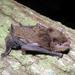 Neoromicia nana - Photo (c) raphaailes, μερικά δικαιώματα διατηρούνται (CC BY-NC), uploaded by Colombo Raphaël