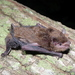 Banana Pipistrelle - Photo (c) raphaailes, some rights reserved (CC BY-NC), uploaded by Colombo Raphaël