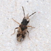 Scolopostethus decoratus - Photo (c) carnifex, algunos derechos reservados (CC BY)