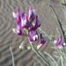 Astragalus magdalenae - Photo (c) jrdnz, algunos derechos reservados (CC BY-NC)