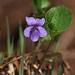 Viola epipsiloides - Photo (c) Boris Bolshakov, osa oikeuksista pidätetään (CC BY-NC)