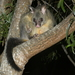 Common Brushtail Possum - Photo (c) Nick Lambert, some rights reserved (CC BY-NC-SA)