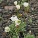 Pale Poppy - Photo (c) Boris Bolshakov, some rights reserved (CC BY-NC)