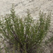 Scrophularia cretacea - Photo (c) Sergey Mayorov,  זכויות יוצרים חלקיות (CC BY-NC)