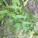 Baccharis plummerae plummerae - Photo (c) Adam Searcy, algunos derechos reservados (CC BY-NC)