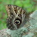 Fruhstorfer's Owl-Butterfly - Photo (c) barloventomagico, some rights reserved (CC BY-NC-ND)