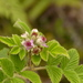 Rubus niveus - Photo (c) Anneke Jonker, algunos derechos reservados (CC BY-NC)