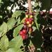 Coffea arabica - Photo (c) ashhreem,  זכויות יוצרים חלקיות (CC BY-NC)