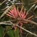 Amylotheca dictyophleba - Photo (c) James Bailey, osa oikeuksista pidätetään (CC BY-NC)