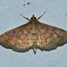 Herpetogramma - Photo (c) Vijay Anand Ismavel, some rights reserved (CC BY-NC-SA), uploaded by Dr. Vijay Anand Ismavel MS MCh