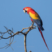 Typical Macaws - Photo (c) José Antonio Linage Espinosa, some rights reserved (CC BY-NC)
