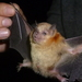 Yellow-shouldered Bats - Photo (c) Hermes Vega, some rights reserved (CC BY-NC)