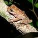 Rana Arborícola Parda - Photo (c) Daryl Coldren, algunos derechos reservados (CC BY-NC)