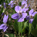 Hairy Violet - Photo (c) Sergey Mayorov, some rights reserved (CC BY-NC)