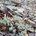 Alyssum obtusifolium - Photo no rights reserved