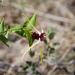Strophanthus amboensis - Photo (c) Andrew Hankey, algunos derechos reservados (CC BY-SA)