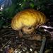 אבקיתים - Photo (c) FRANCISCO MIGUEL FARRIOLS ESTRADA,  זכויות יוצרים חלקיות (CC BY-NC)