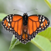 South American Monarch - Photo (c) andersonwarkentin, some rights reserved (CC BY-NC)