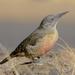 Geocolaptes olivaceus - Photo (c) Ian White,  זכויות יוצרים חלקיות (CC BY-NC-SA)