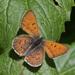 Tharsalea helloides - Photo (c) Jerry Oldenettel, algunos derechos reservados (CC BY-NC-SA)