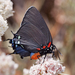 Great Purple Hairstreak - Photo (c) Bill Bouton, some rights reserved (CC BY-NC)