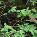 Spiraea schlothauerae - Photo (c) yakubovvalentin2018,  זכויות יוצרים חלקיות (CC BY-NC)