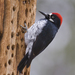 Acorn Woodpecker - Photo (c) Dmitry Mozzherin, some rights reserved (CC BY-NC-SA)