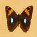 Adelpha justina - Photo (c) Hectonichus, algunos derechos reservados (CC BY-SA)