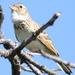 Mirafra passerina - Photo (c) Derek Keats,  זכויות יוצרים חלקיות (CC BY)
