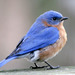Eastern Bluebird - Photo (c) Patrick Coin, some rights reserved (CC BY-NC-SA)