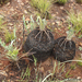 Encephalartos humilis - Photo (c) Andrew Hankey,  זכויות יוצרים חלקיות (CC BY-SA)