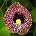 Aristolochia littoralis - Photo (c) Salomé, osa oikeuksista pidätetään (CC BY-NC-SA)