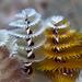Serpulidae - Photo (c) terence zahner, osa oikeuksista pidätetään (CC BY-NC)