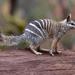 Hormiguero Marsupial - Photo (c) pfaucher, algunos derechos reservados (CC BY-NC)