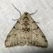 Phigalia strigataria - Photo (c) kestrel360, μερικά δικαιώματα διατηρούνται (CC BY-NC-ND)