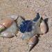 Bullia rhodostoma - Photo (c) carlbodenstaff, algunos derechos reservados (CC BY-NC)