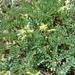 Astragalus californicus - Photo (c) cschelz7, osa oikeuksista pidätetään (CC BY-NC)