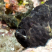 Longlure Frogfish - Photo (c) terence zahner, some rights reserved (CC BY-NC)