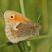Coenonympha - Photo (c) Rachel, algunos derechos reservados (CC BY-NC-ND)