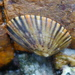 Variegated Limpet - Photo (c) sea-kangaroo, some rights reserved (CC BY-NC-ND)