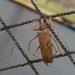 Eburia pilosa - Photo (c) lequimi, algunos derechos reservados (CC BY-NC)