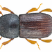 European Shothole Borer - Photo (c) Udo Schmidt, some rights reserved (CC BY-SA)