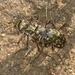 Cicindela trifasciata sigmoidea - Photo (c) 2011 Robert A. Hamilton, algunos derechos reservados (CC BY-NC-SA)