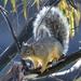 Meksikonorava - Photo (c) Art Mur, osa oikeuksista pidätetään (CC BY-NC-ND)