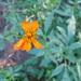 Aceitilla Naranja - Photo (c) Eric Hough, algunos derechos reservados (CC BY-NC)