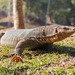 Common Water Monitor - Photo (c) zuppi, some rights reserved (CC BY-NC)