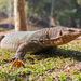Varanus salvator - Photo (c) zuppi, μερικά δικαιώματα διατηρούνται (CC BY-NC)