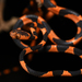 Common Blunt-headed Tree Snake - Photo (c) Josh Vandermeulen, some rights reserved (CC BY-NC-ND)